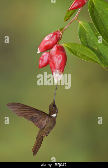 Brown Inca hummingbird (Coeligena wilsoni) feeding at a flower while flying at the Mindo Loma  reserve in northwest - Stock Image