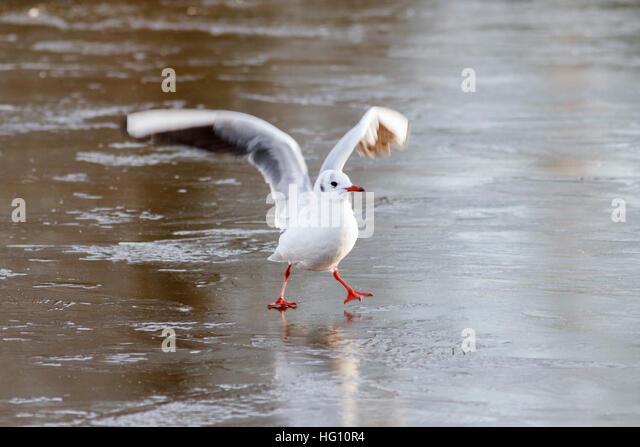 Hailsham,UK.3rd January 2017. UK weather. A Gull slides on frozen ice at the Common Pond in Hailsham following freezing - Stock Image