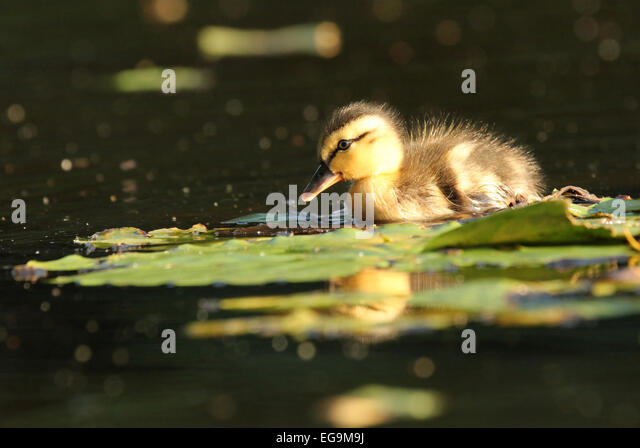 Mallard duckling. London UK - Stock Image