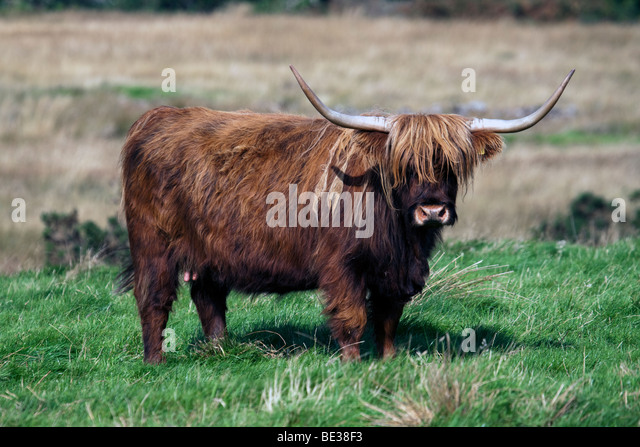Highland cow on Isle of Mull, Scotland - Stock Image