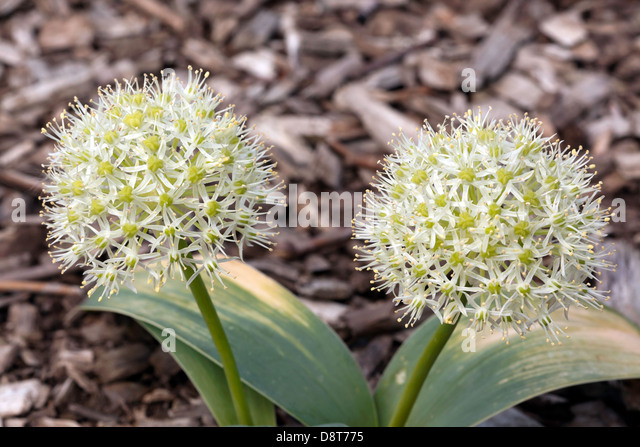 Cultivated Alliums growing in the new  Sensory Gardens at Beckenham Place Park, Lewisham - Stock Image