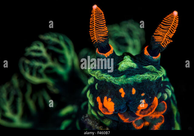 High magnification photo of Nudibranch (Nembrotha kubaryana), showing orange mouth parts and sensory rhinophores, - Stock Image