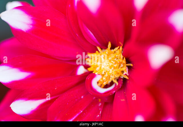 Merthyr Tydfil, South Wales, UK. 24 July 2017. UK weather: Dahlia in bloom in the sunny evening light today. Credit: - Stock Image