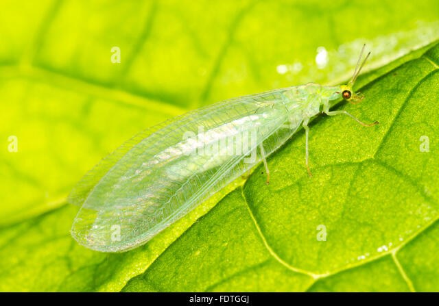 Common Green Lacewing (Chrysoperla carnea) adult, resting on a leaf. Powys, Wales. August. - Stock Image