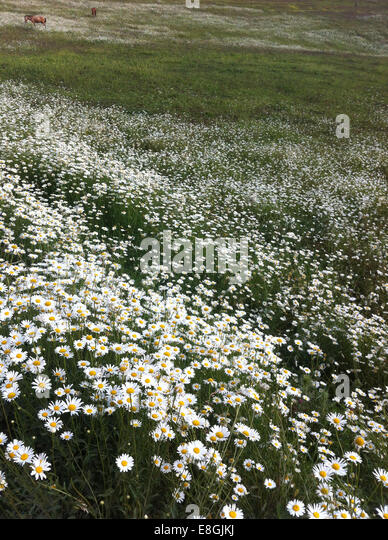 India, Kashmir, Gulmarg, Ponies grazing in daisy meadow - Stock Image
