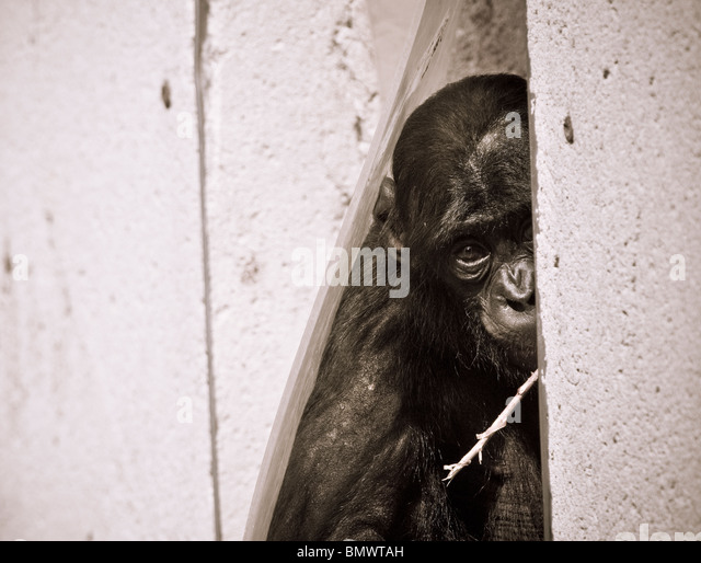 Bonobo (Pan paniscus) - single baby bonobo in close-up in doorway - August, Planckendael Zoo, Belgium, Europe - Stock-Bilder