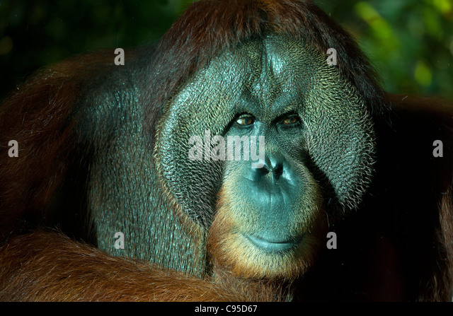 Orangutan, Singapore zoo - Stock Image