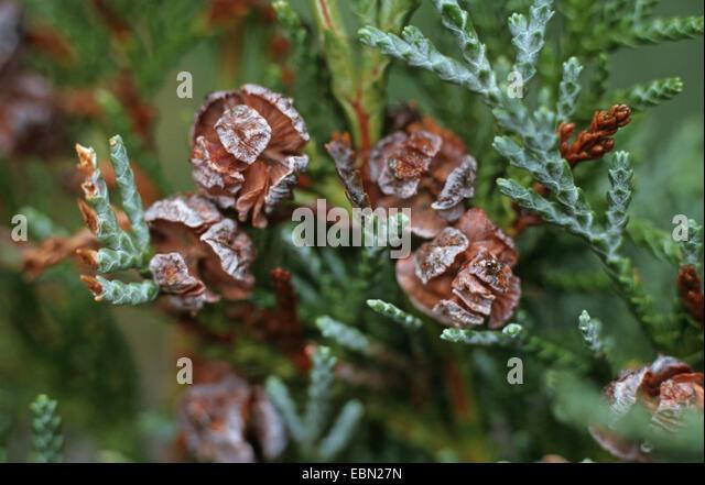 Lawson cypress, Port Orford cedar (Chamaecyparis lawsoniana), cones at a twig - Stock Image