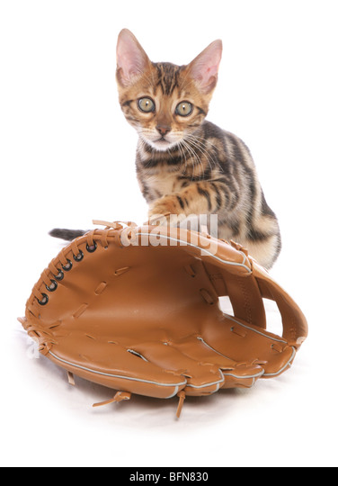 bengal kitten with baseball glove single young female studio - Stock Image