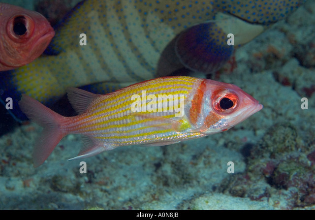 Holocentridae stock photos holocentridae stock images for Big eye squirrel fish