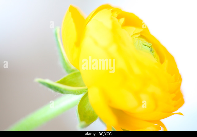 beautiful ranunculus sensitive and radiant fine art photography Jane Ann Butler Photography JABP388 - Stock Image