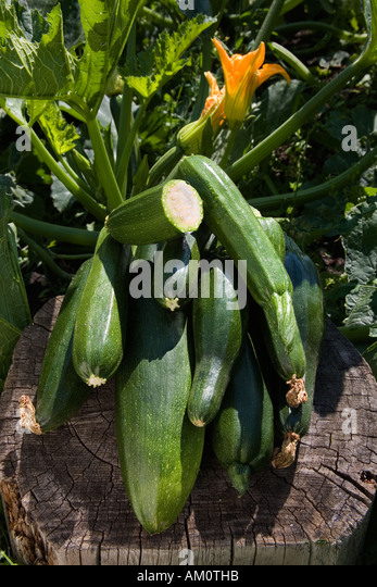 Fresh courgettes zucchini beside a courgette plant - Stock Image