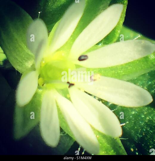 Macro white flower - Stock Image