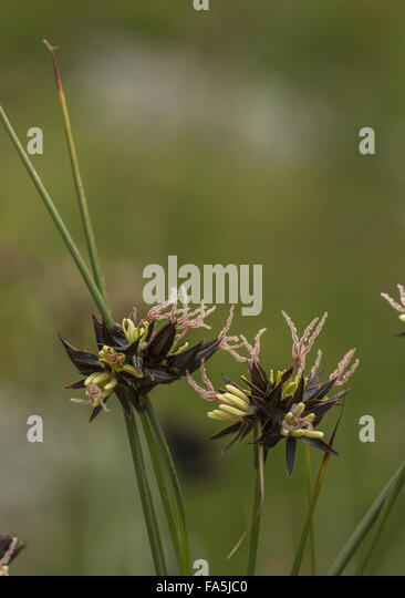 Jacquin's Rush, Juncus jacquinii in flower at high altitude, with beautiful pink styles. Italian Alps. - Stock-Bilder