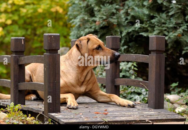 Mixed-breed Rhodesian Ridgeback lying on a wooden bridge - Stock Image