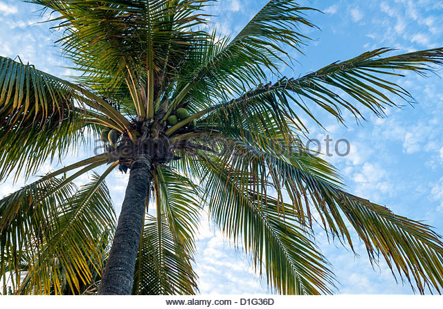 Coconut tree, low angle view, Providenciales, Turks and Caicos Islands, West Indies, Caribbean, Central America - Stock Image