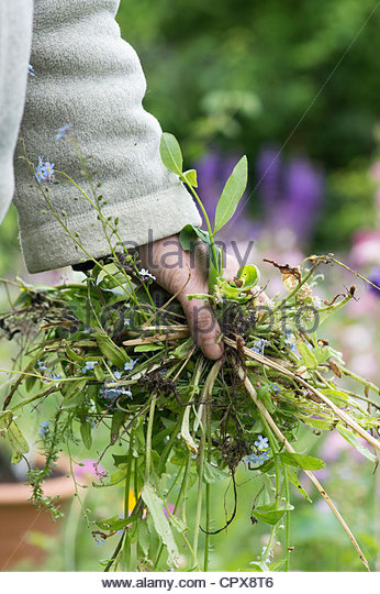 Female Gardener clearing dead plants and weeds from the garden - Stock Image