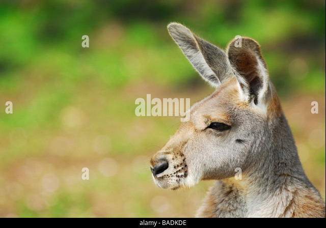 close up of a beautiful Red Kangaroo Macropus rufus - Stock Image