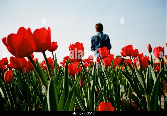 Man Standing Against Red Tulip Flowers - Stock Image