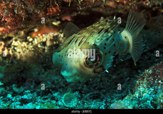 Long-Spine Porcupinefish (Diodon Holacanthus – aka Longspined Porcupinefish, Freckled Porcupinefish). Coiba, Panama - Stock Image