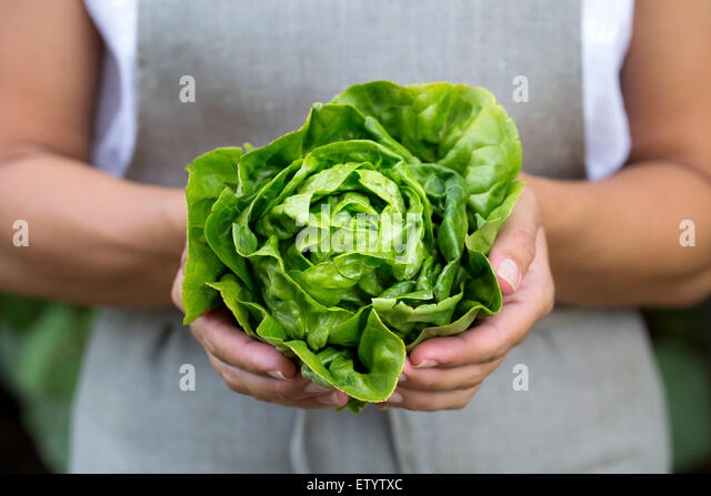 A woman holding a head of freshly picked artisinal green lettuce in her hand. - Stock Image