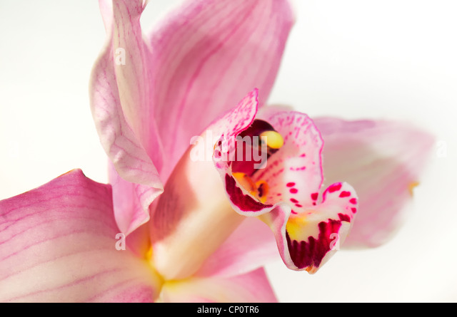 The pink orchid photographed on a white background - Stock-Bilder
