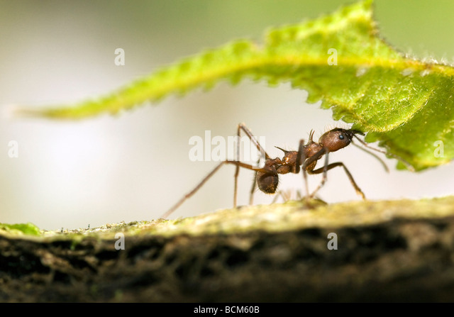 Close-up of Leafcutter Ant carrying leaf - Osa Peninsula - near Puerto Jimenez, Costa Rica - Stock Image