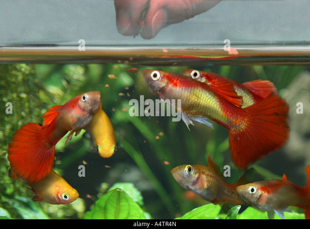 Guppies stock photos guppies stock images alamy for Guppy fish food