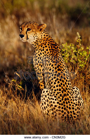 Cheetah, Samburu National Reserve, Kenya - Stock Image