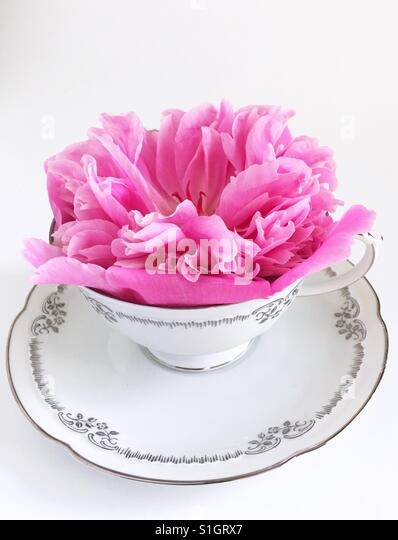 A pink peony flower in a tea cup. - Stock Image