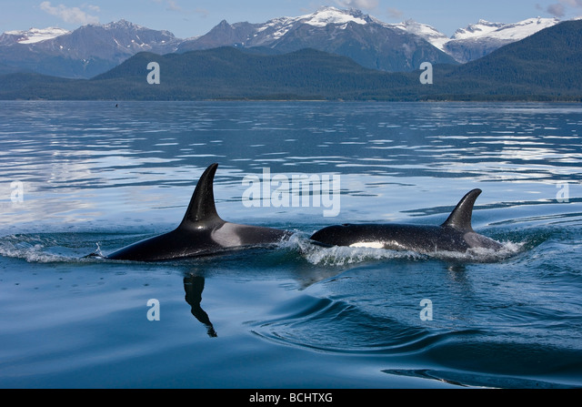 Pod of Orca whales surfacing in Lynn Canal with the Coastal Range in the background in Southeast Alaska - Stock Image