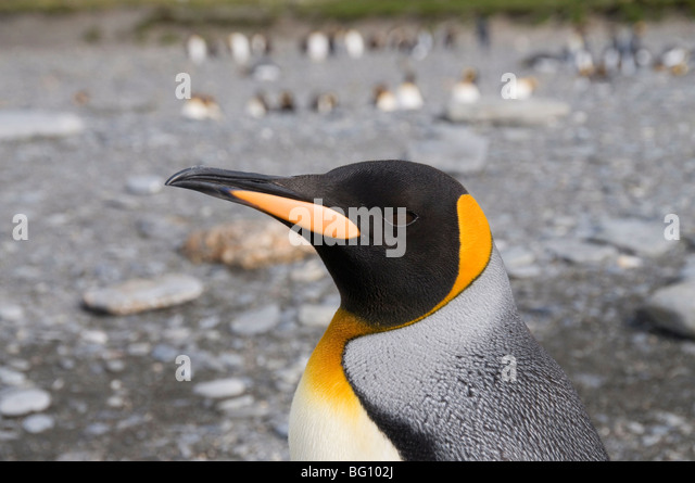 King penguin, St. Andrews Bay, South Georgia, South Atlantic - Stock Image