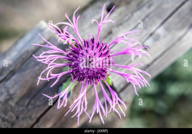 Centaurea sphaerocephala a herbaceous thistle-like flowering plant in Piedras Riverside, El Rompido, Huelva, Spain - Stock Image