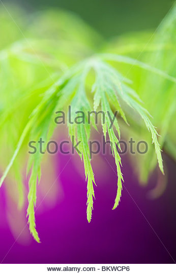 Acer palmatum leaves var. Dissectum. Smooth Japanese maple abstract - Stock Image