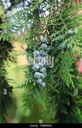 Lawson cypress, Chamaecyparis lawsoniana - Stock Image