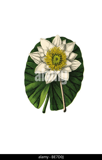 Water lily, historical illustration - Stock Image