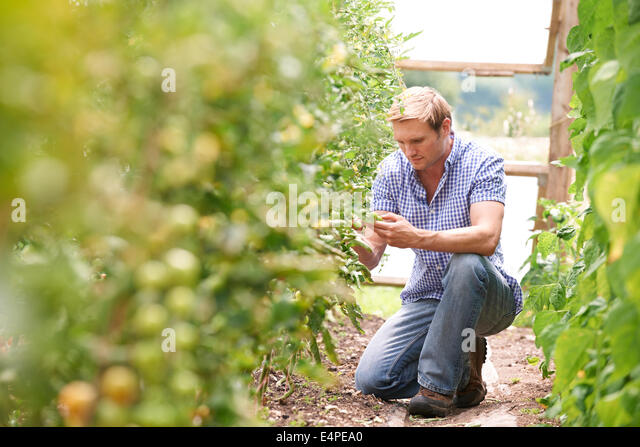 Farmer Checking Tomato Plants In Greenhouse - Stock Image