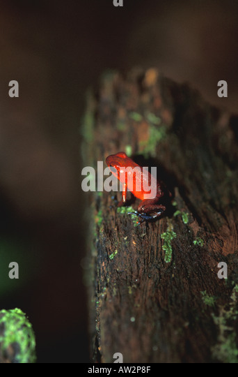 Costa Rica red poison arrow dart frog in rain forest - Stock Image