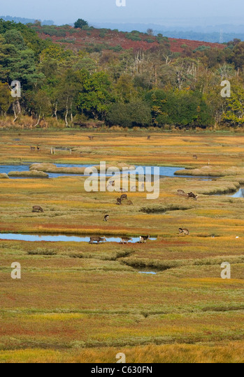 SIKA DEER Cervus nippon A number of deer grazing on coastal marshesDorset, UK - Stock-Bilder