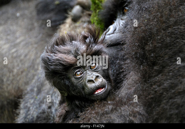 Mountain Gorilla (Gorilla beringei beringei) baby with mother, Rwanda, Africa. - Stock Image