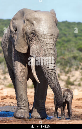African elephants (Loxodonta africana) adult and baby, Addo National Park, Eastern Cape, South Africa, Africa - Stock-Bilder