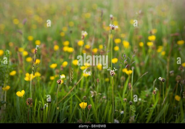 Wild flower meadow - Stock Image