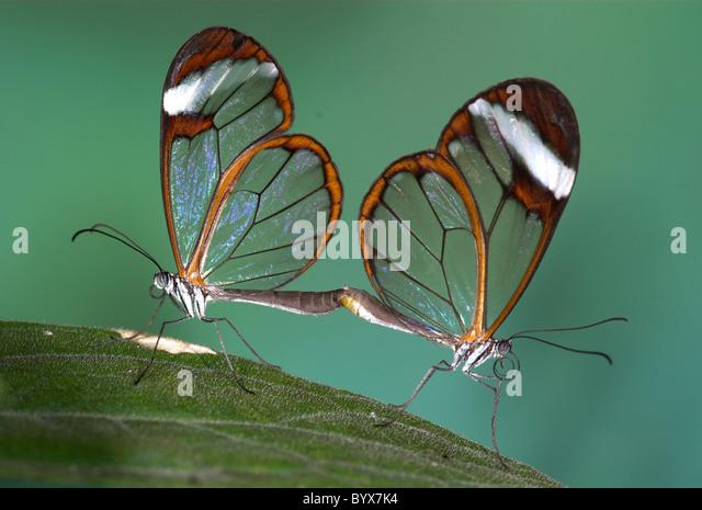 Greta Oto Clearwing Glasswing Butterfly Central America - Stock-Bilder