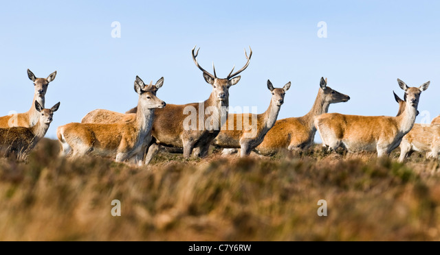 Red deer stag with hinds during rutting season - Stock Image
