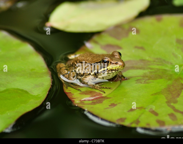 a green frog resting on a water lily leaf - Stock Image
