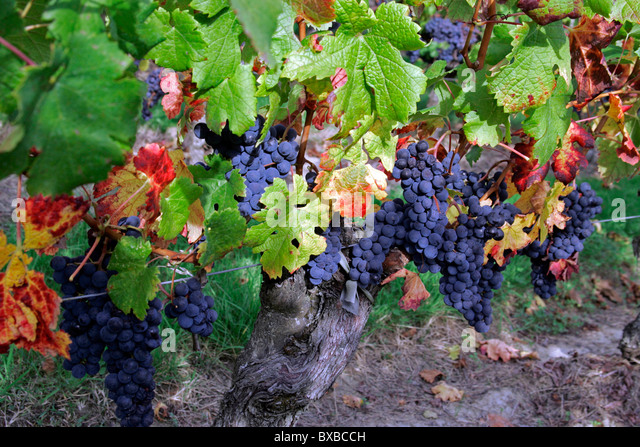 Ripe wine grapes in vineyard, St Emilion, Bordeaux, France, Europe - Stock Image
