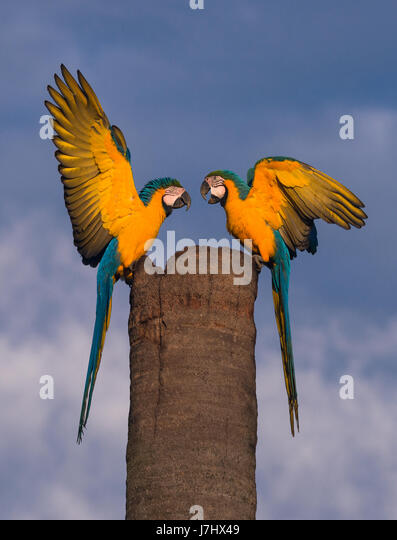 A pair of Blue-and-yellow  Macaw meet at their nest site - Stock Image