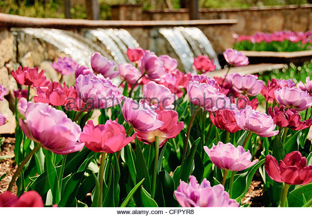 Pink and purple tulips in front of fountain, Botanica Gardens, Wichita, KS., April 9, 2011 - Stock Image