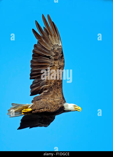 American Bald Eagle in Fligt - Stock-Bilder