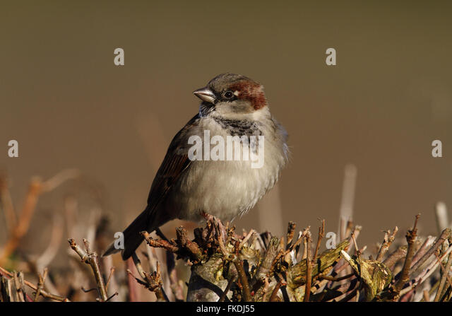 House Sparrow (Passer domesticus) male - Stock Image